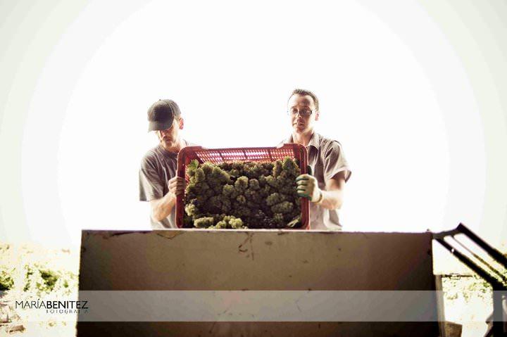 La vendimia de Chiclana: recogiendo uva. Fotografía de María Benitez